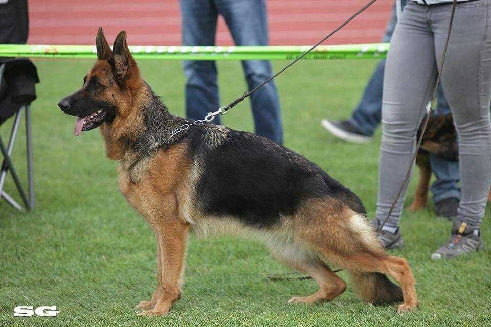 Characteristics To Know About German Shepherd